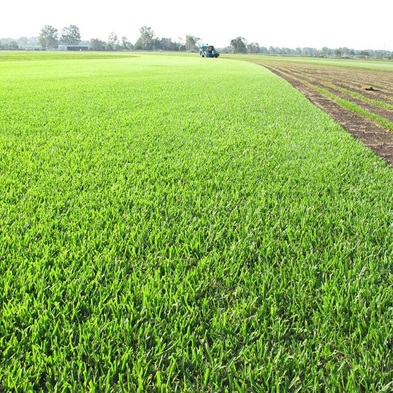 Sir Walter Buffalo Grass at Australian Lawn Concepts Turf Farm 5a