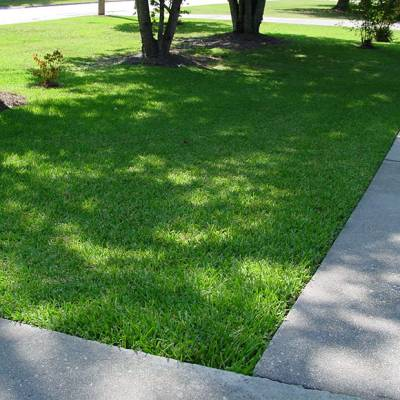 palmetto lawn turf grass8.1